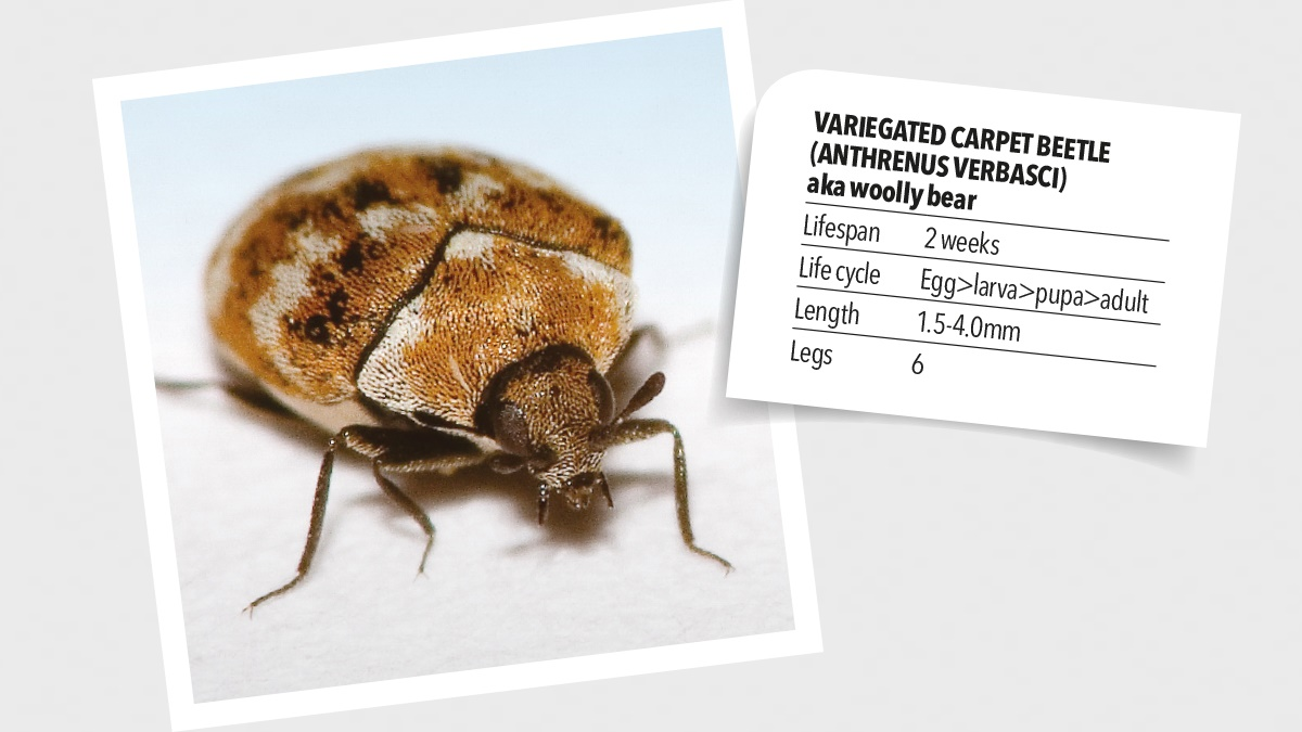 Variegated carpet beetles