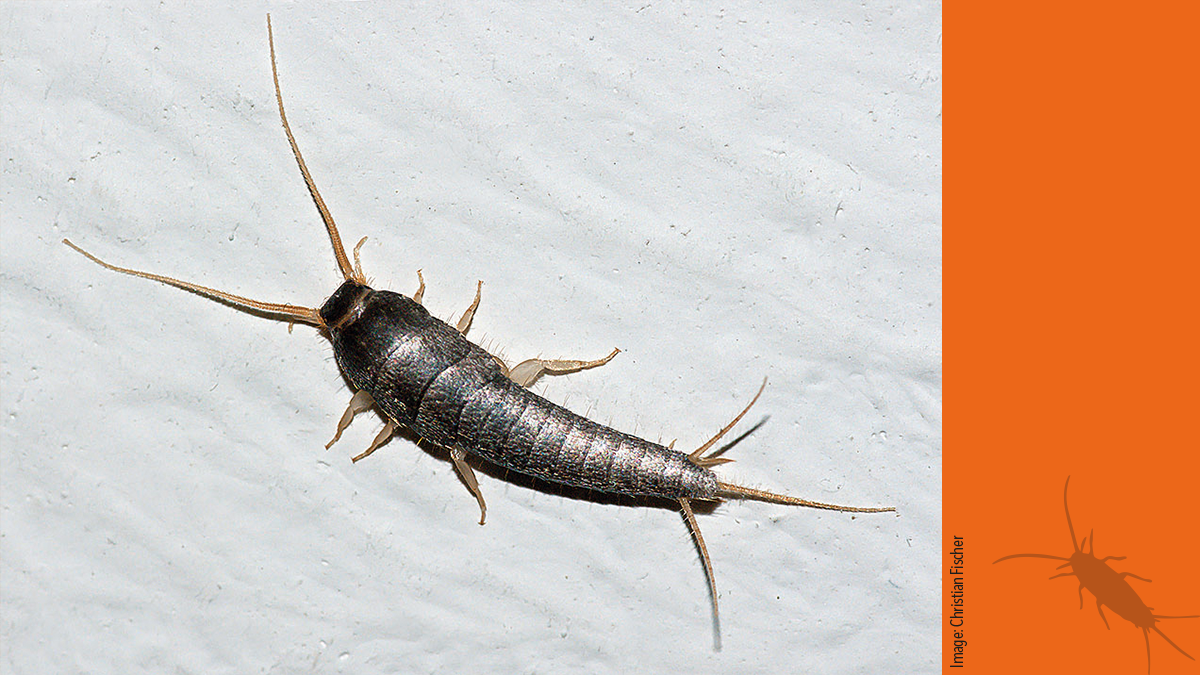 Silverfish and booklice