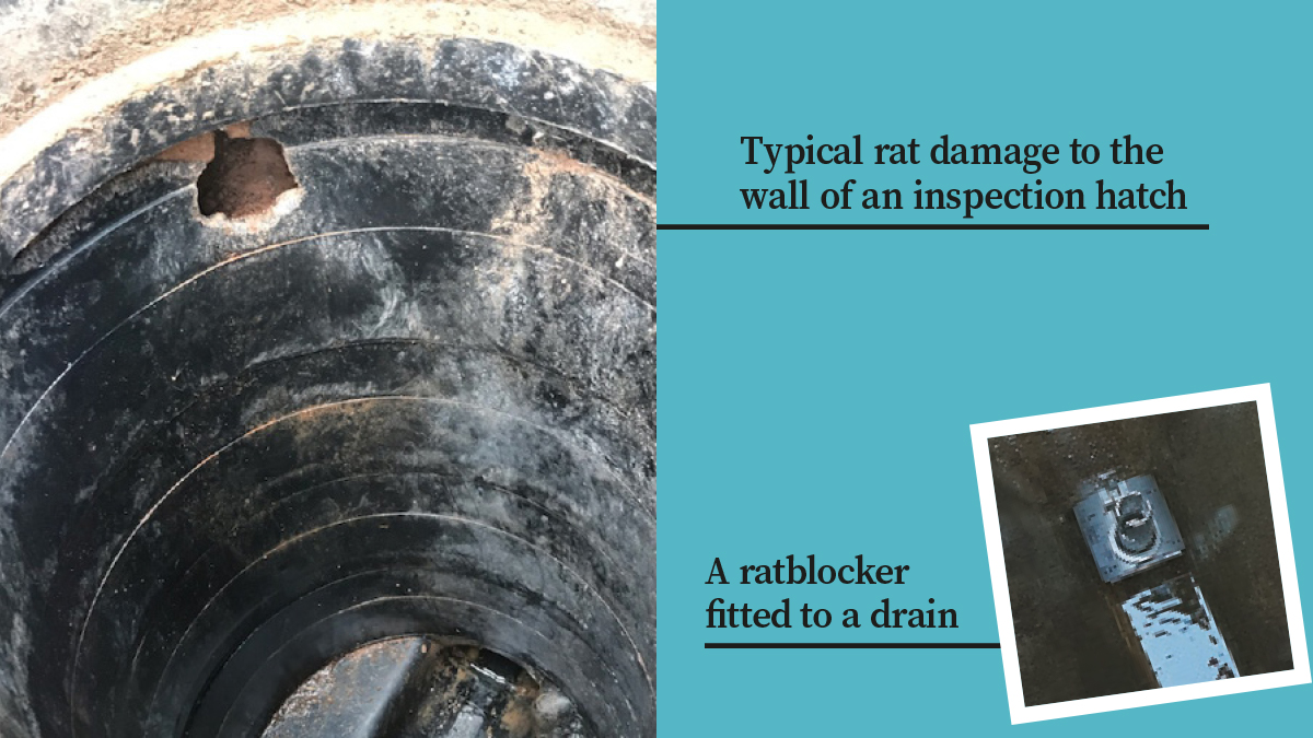 Typical rat damge and a rat blocker fitted in a drain