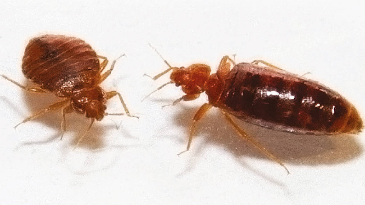 Unfed and fed bed bugs