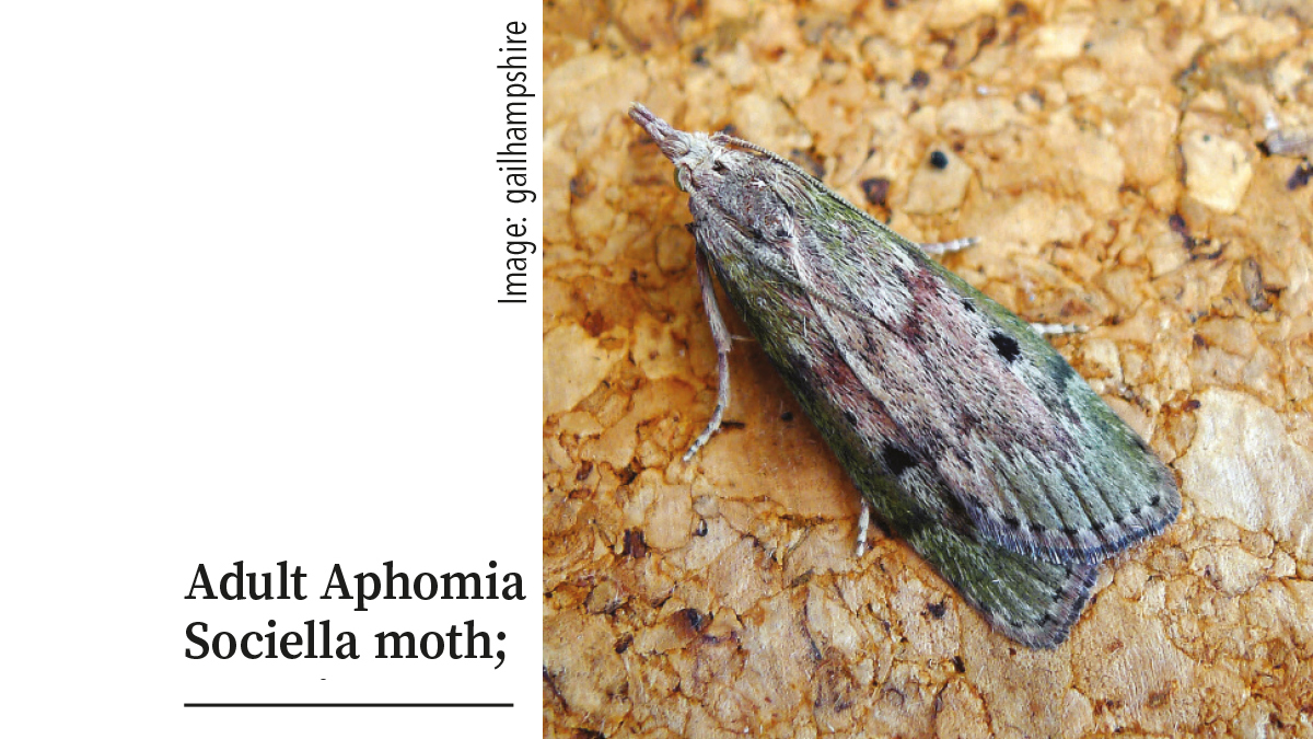 Adult Aphomia Sociella moth pupation galleries