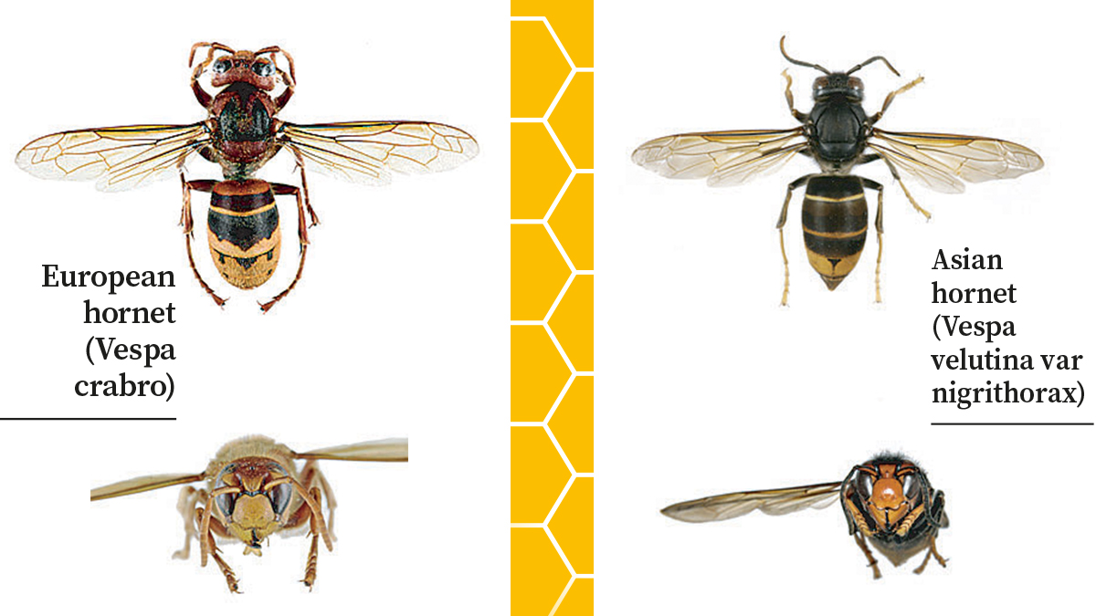 Asian Hornets vs European Hornets