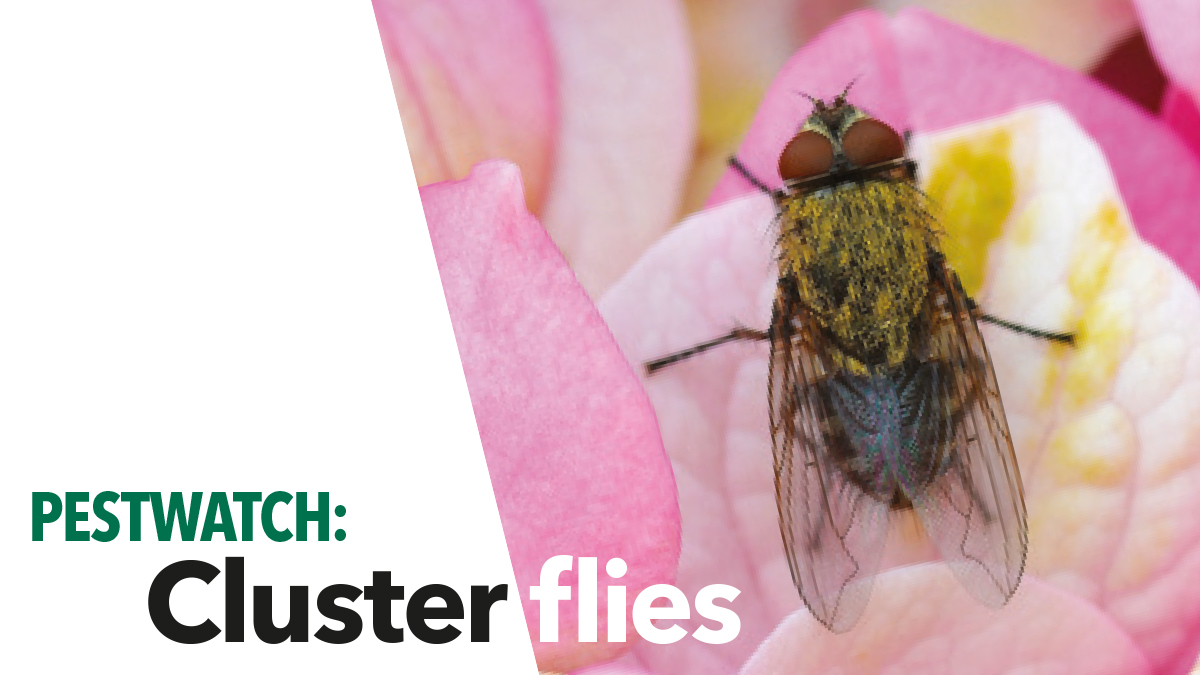 The typical cluster fly Pollenia rudis is about 7mm long, has short golden-coloured hairs on the thorax and irregular light and dark grey areas on the abdomen. Cluster flies are typically slow moving and pass the winter as adults so are very common in early spring.