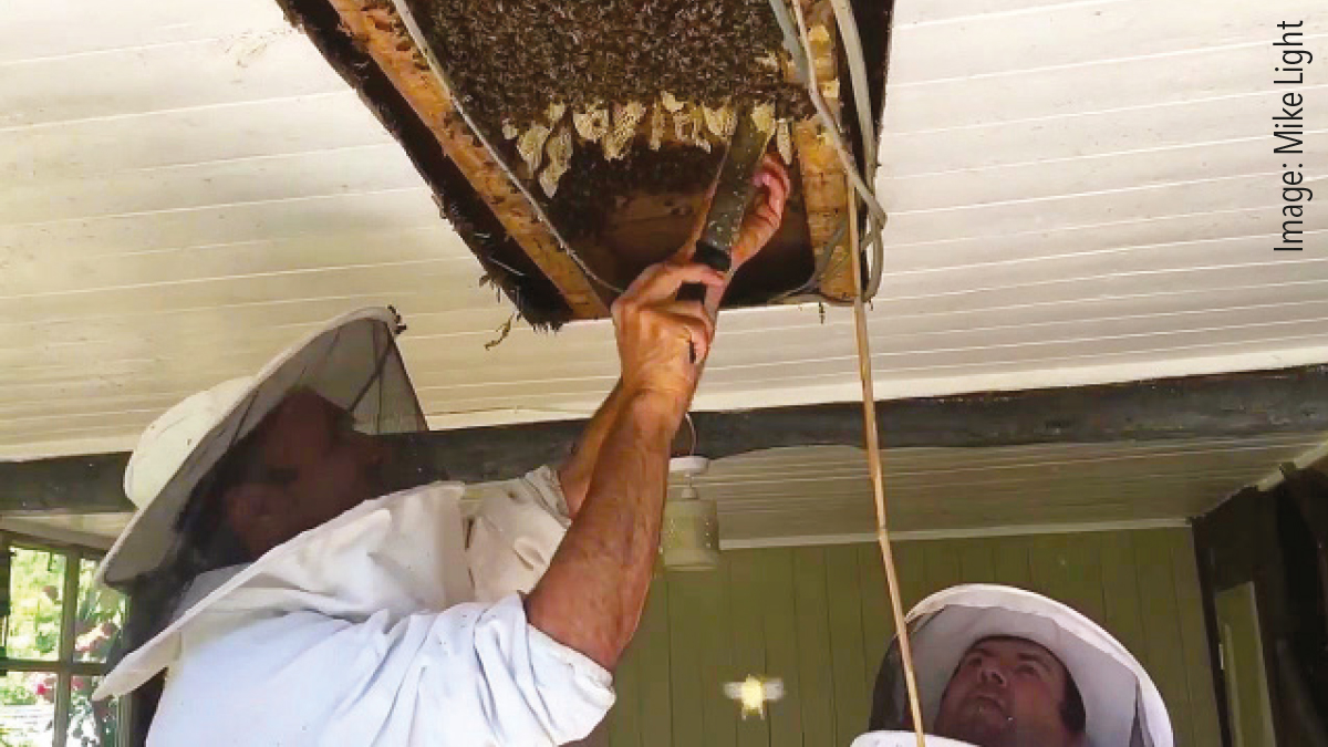 Steve Light of Shire Pest Solutions working with Bee.Watch beekeeper Filipe Salbany removing an established colony of 40,000 bees. Both companies regularly communicate through the Bee.Watch app and look forward to a busy swarm season.