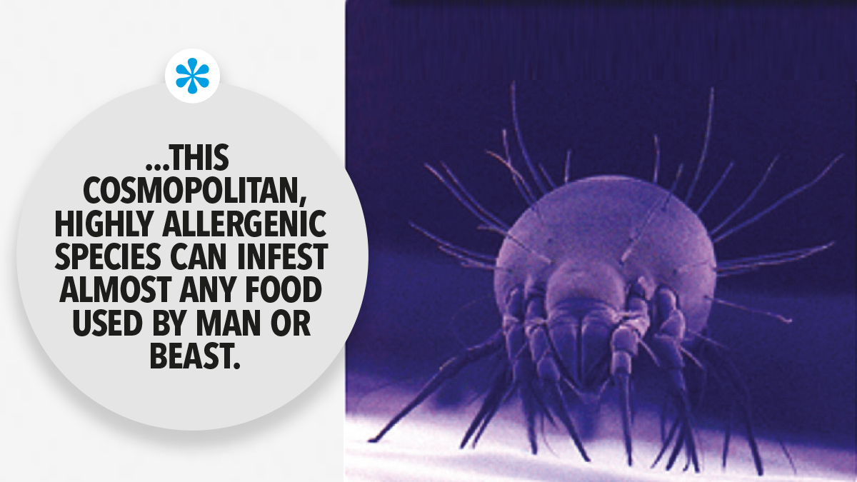 This cosmopolitan highly allergenic species can infest almost any food used by man or beast