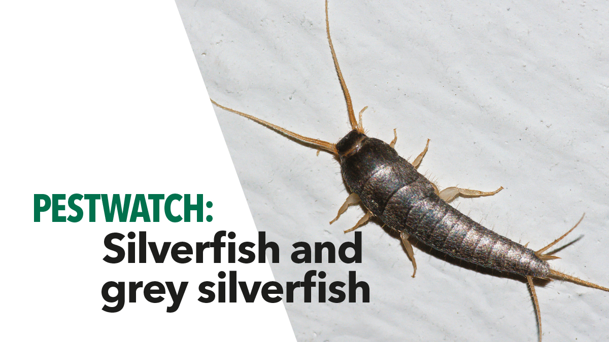 Pestwatch Silverfish bpca5
