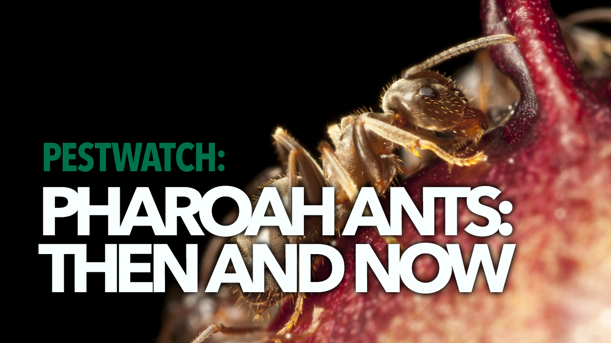 pestwatch pharaoh ants bpca 2