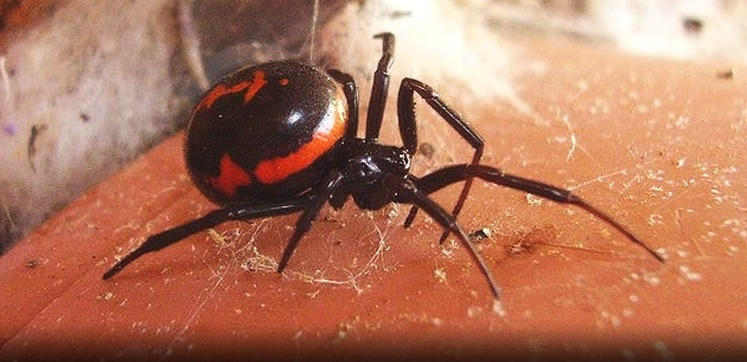 Pest Advice For Controlling False Black Widow Spiders