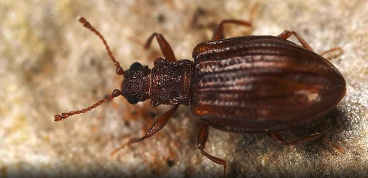 Pest advice for controlling Plaster Beetle