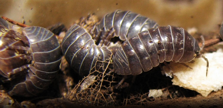 Pest Advice For Controlling Woodlice