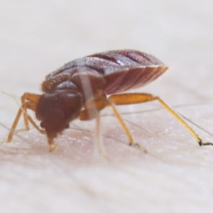 Do Bed Bugs Bite Under Clothes?