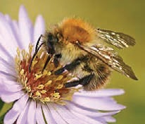 common carder bee-9