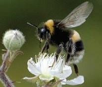 white-tailed bumble bee-8