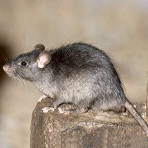 pest advice for controlling black rats