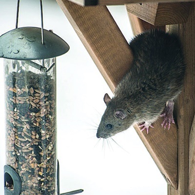 Pest advice for controlling Brown Rats