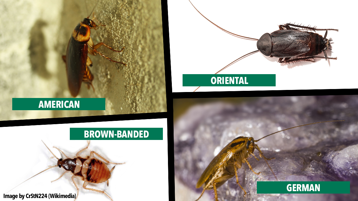 Cockroach-comparison-oriental-american-german-brownbanded