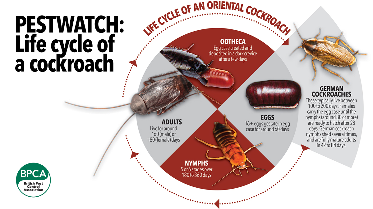 life cycle cockroach