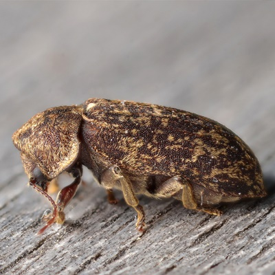 Death watch beetle-1