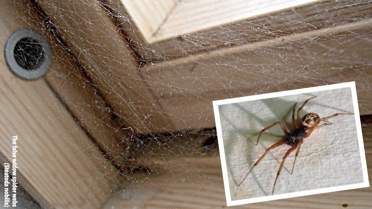 False Widow Spider web