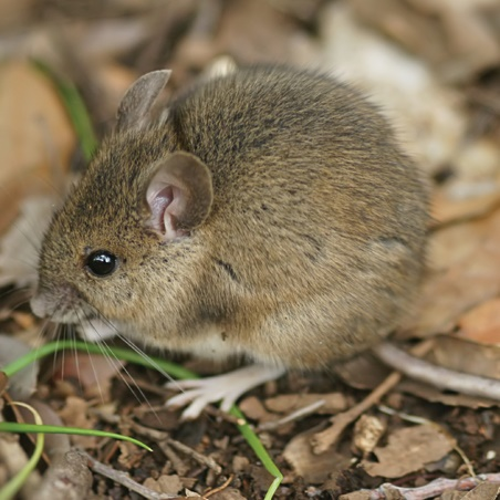Field Mouse 1