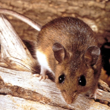 Field Mouse 2