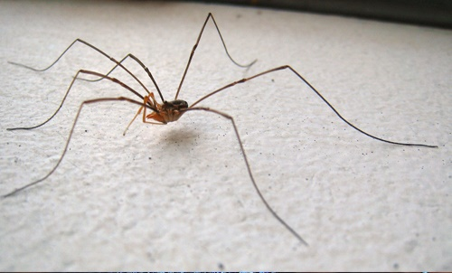 Harvestmans Spider-1