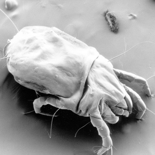 House dust mite-1