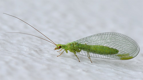 Pest advice for controlling Lacewing