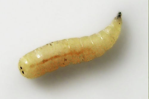 Pest advice for controlling Maggots