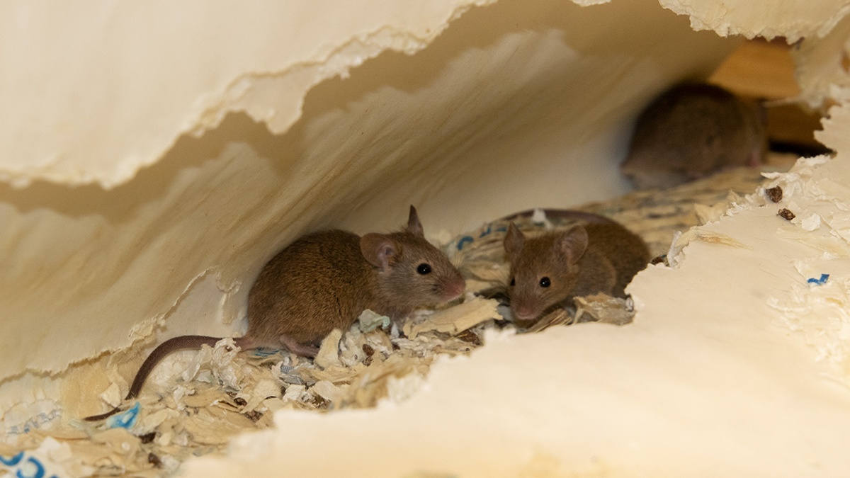 Mice live in nests that they build out of materials like cloth, wool and paper. Image: Rentokil