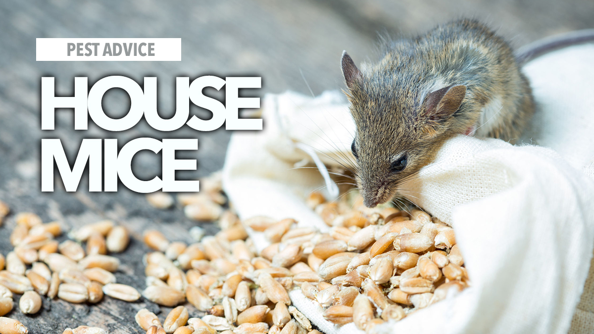 house mice az