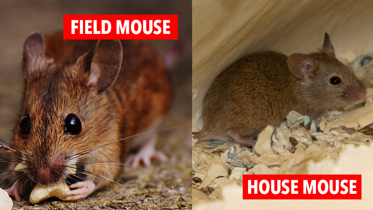 Pest Advice For Controlling House Mice
