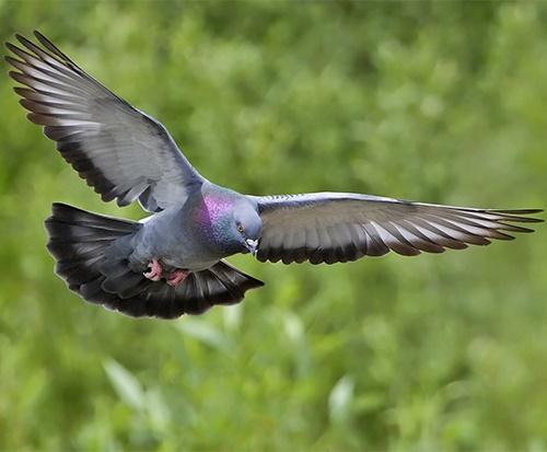 Pigeons-1