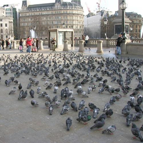 Pigeons-2