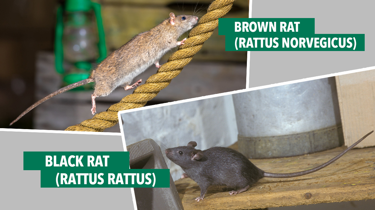 black rat brown rat comparison