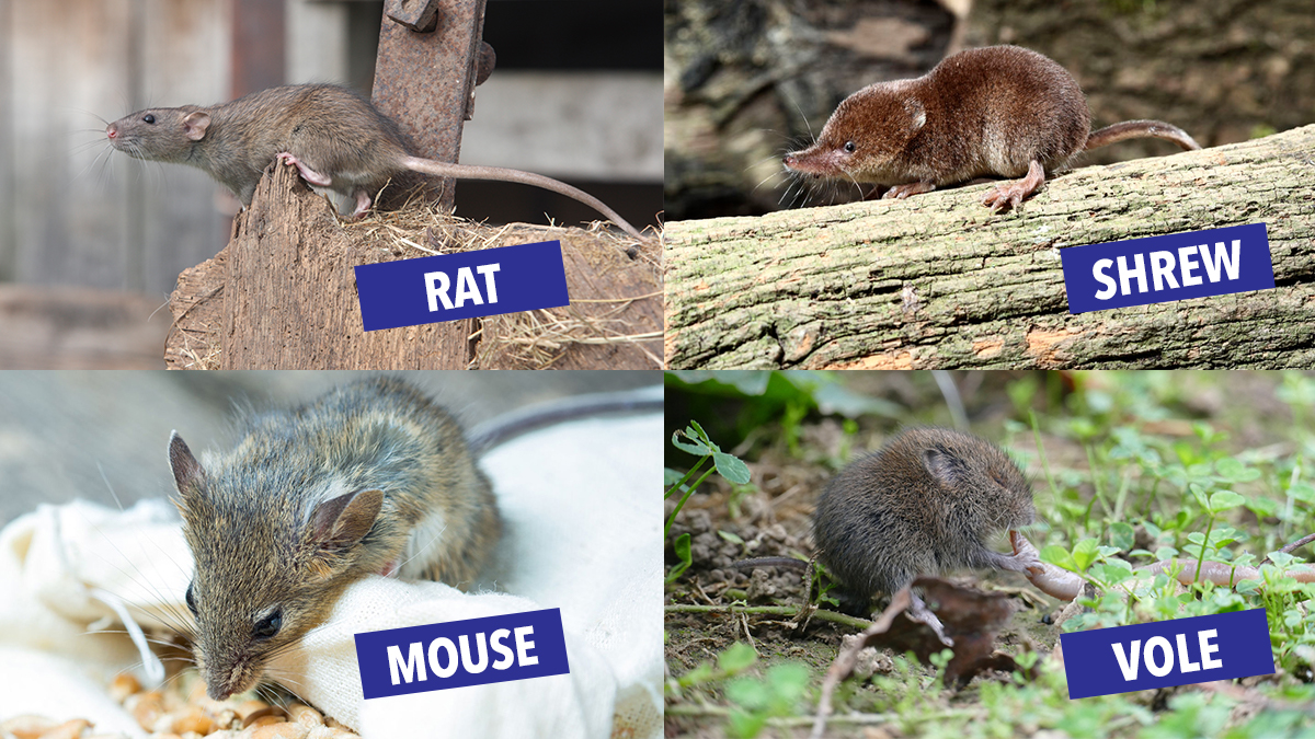 difference rat vole mouse shrew