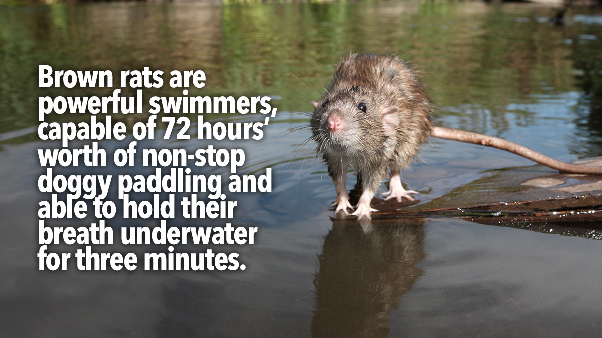 rats powerful swimmers