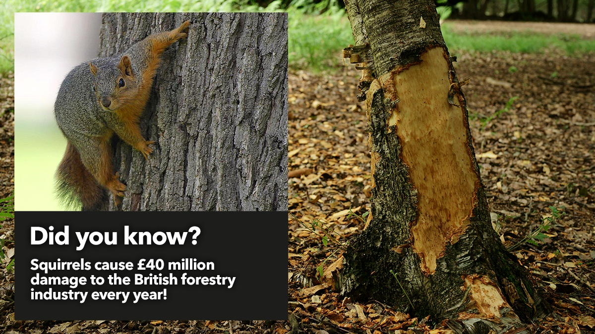 Squirrels cause 40 million damage to British forestry every year