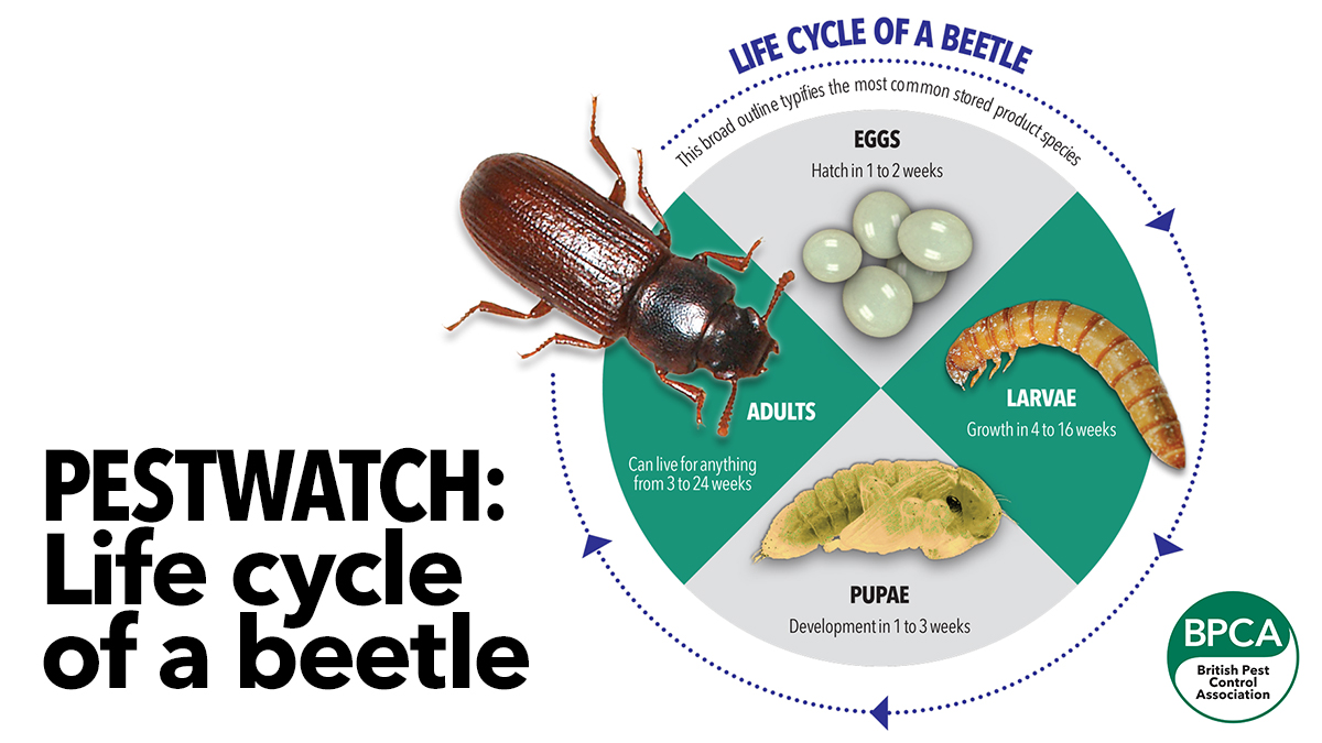5671 BPCA - Beetle life cycle