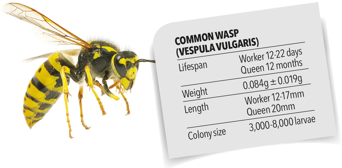 Common wasp biology