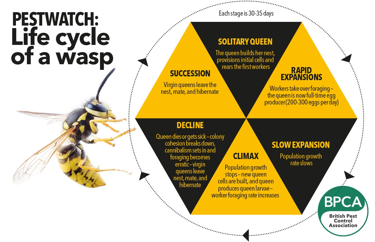 Life cycle of a wasp