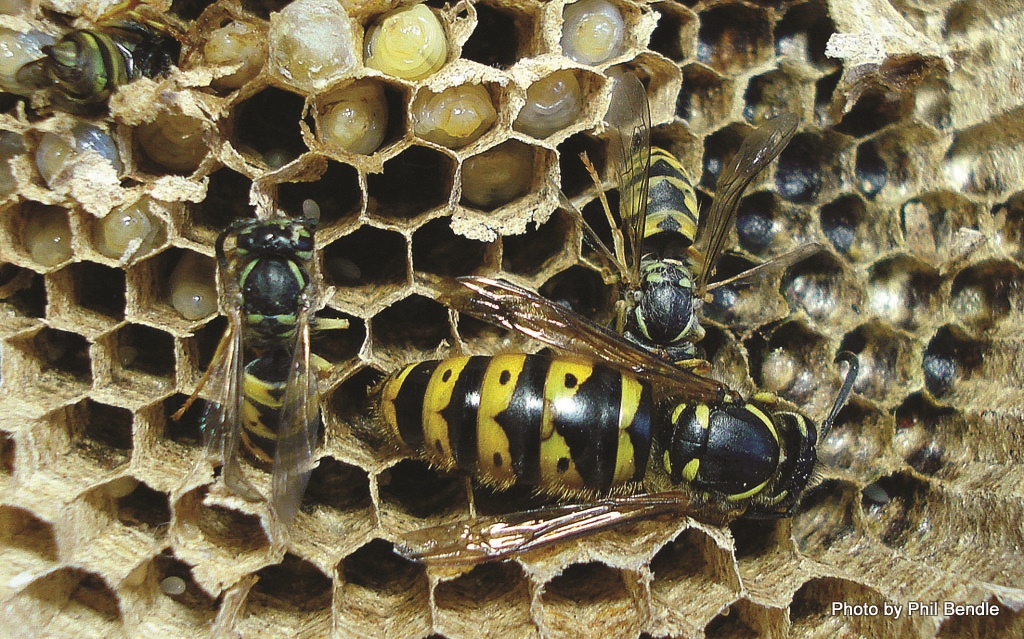 Queen German Wasp and workers - Vespula germanica Photo by Phil Bendle