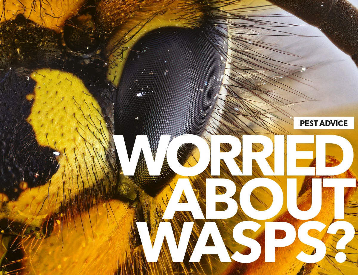 Worried about wasps - pest advice from BPCA