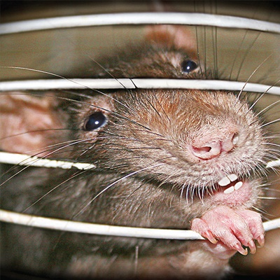 Commercial-advice-rat-in-a-cage