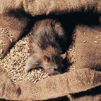 commericial-pest-advice-rat-in-grain