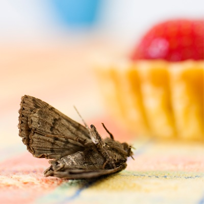 domestic-pests-moth-in-a-house-with-cake