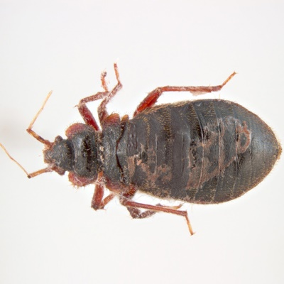 british pest management bug up close