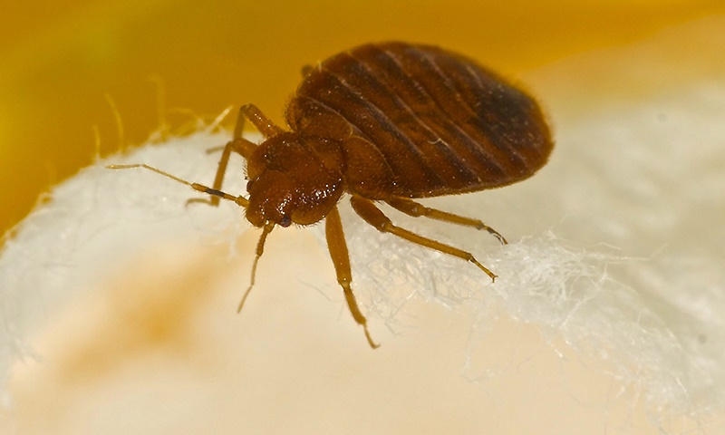 Bed bug title image
