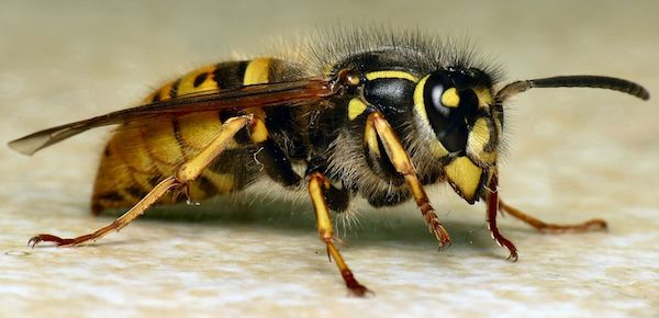 Common Wasp (Vespula (Paravespula) vulgaris)