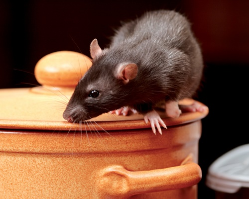 Pest-advice-rat-on-a-pot